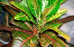 Почему сохнут кончики листьев у кротона