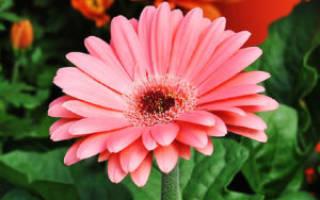 Цветок похожий на ромашку