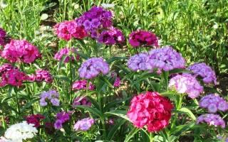 Как вырастить турецкую гвоздику из семян