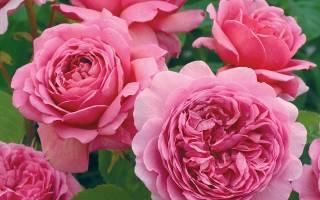 Роза александра оф кент