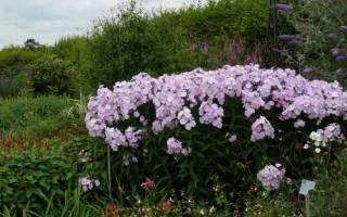 Как вырастить флоксы многолетние из семян