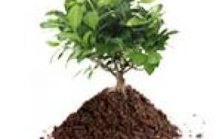 Почва для фикуса бенджамина