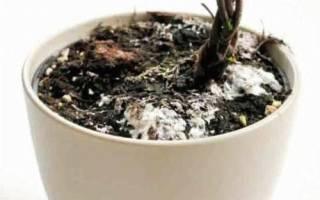 Почему белеет земля в цветочных горшках