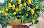 Как привить лимон