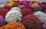 Шарообразные цветы