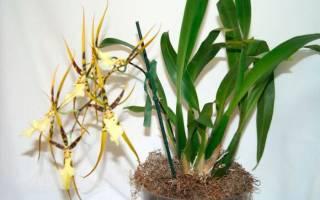 Орхидея брассия уход в домашних условиях
