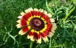 Как выглядят семена хризантемы