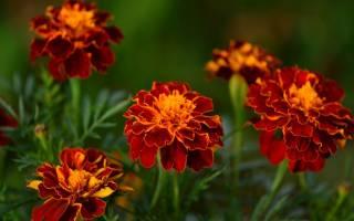 Чернобривцы цветы