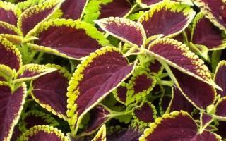Колеус из семян выращивание