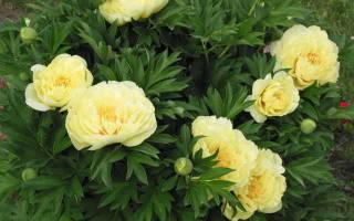 Пионы время цветения