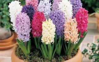Цветок гиацинт как ухаживать в домашних условиях