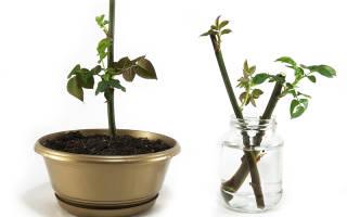 Как укоренить срезанные розы в домашних условиях
