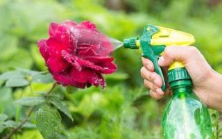 Чем обработать розы от тли