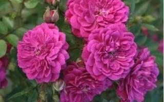 Сиреневый дождь роза