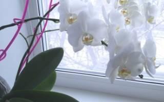 Орхидея как ухаживать в домашних условиях