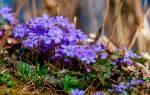 Синие цветочки название