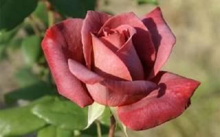 Коричневые розы