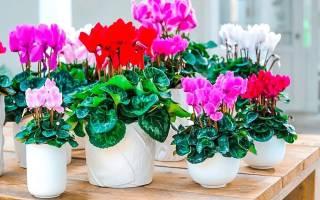 Красивоцветущие комнатные цветы
