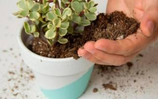 Какая почва нужна для денежного дерева