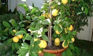 Лимон мейера уход в домашних условиях