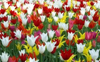 Тюльпаны посадка и уход