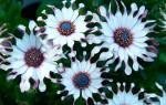 Спермодерма цветок