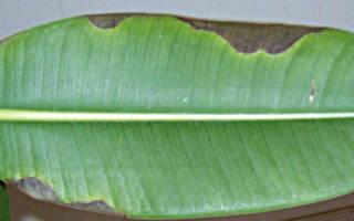 Почему чернеют листья у фикуса