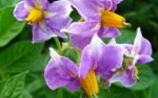 Лечение цветами картофеля