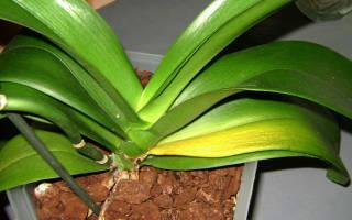 Что делать если у орхидеи желтеют листья