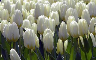 Когда пересаживать тюльпаны весной или осенью
