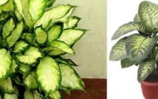 Комнатные цветы диффенбахия можно ли держать дома