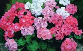 Как заставить герань обильно цвести