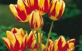 Тюльпаны кустовые