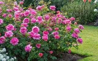 Розы кустовые сорта для подмосковья