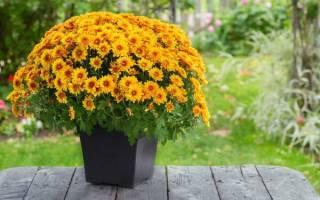 Домашняя хризантема уход