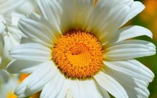 Садовая ромашка крупная выращивание и уход