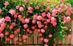 Роза посадка и уход в открытом грунте