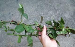 Как разводить розы черенками в домашних условиях