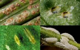 Паразиты на комнатных растениях
