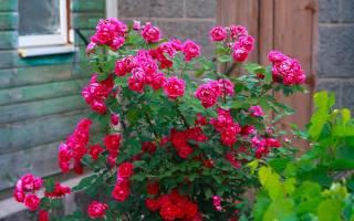 Кустовые розы сорта