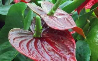 Сколько цветет антуриум