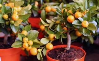 Комнатные цитрусовые растения