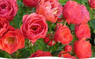 Как рассаживать розы черенками