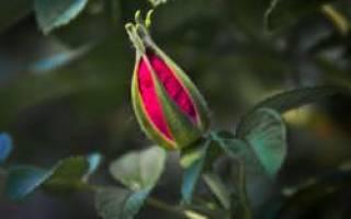 Почему у розы опадают бутоны