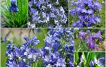 Синие многолетние цветы