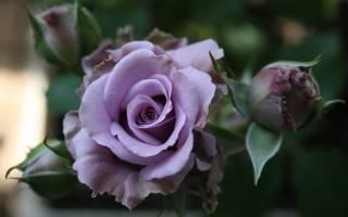 Сиреневые розы сорта