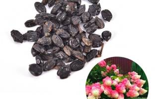 Выращивание гортензии из семян в домашних условиях