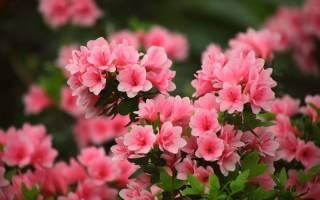Азалия садовая посадка и уход