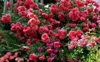 Rosarium uetersen роза
