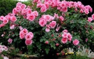 Самые неприхотливые розы для подмосковья
